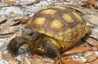 Baby Gopher Tortoise 2 webpage
