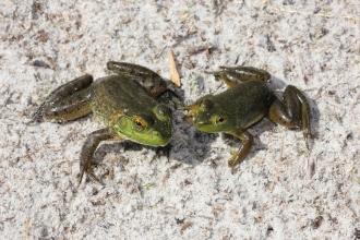Bullfrogs 10.31.15