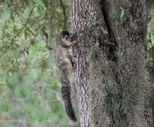 Fox squirrel small