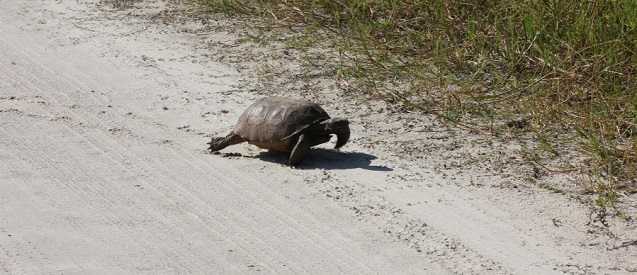 Gopher tortoise small