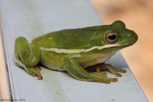 Green tree frog 2 10.31.15
