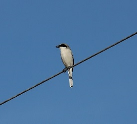 Loggerhead shrike small