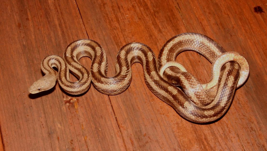 Gulf Hammock Rat Snake Wallpaper