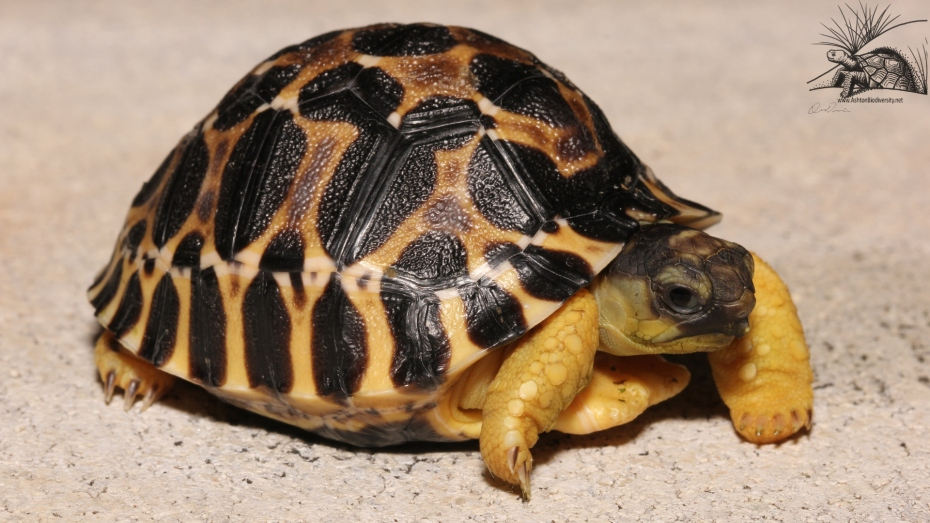 Radiated Tortoise Wallpaper