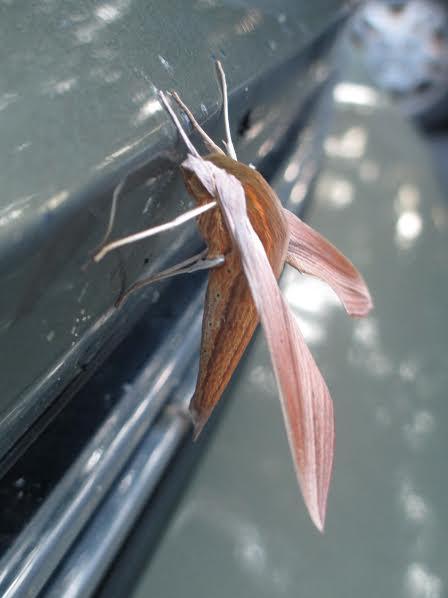 tersa-moth-3